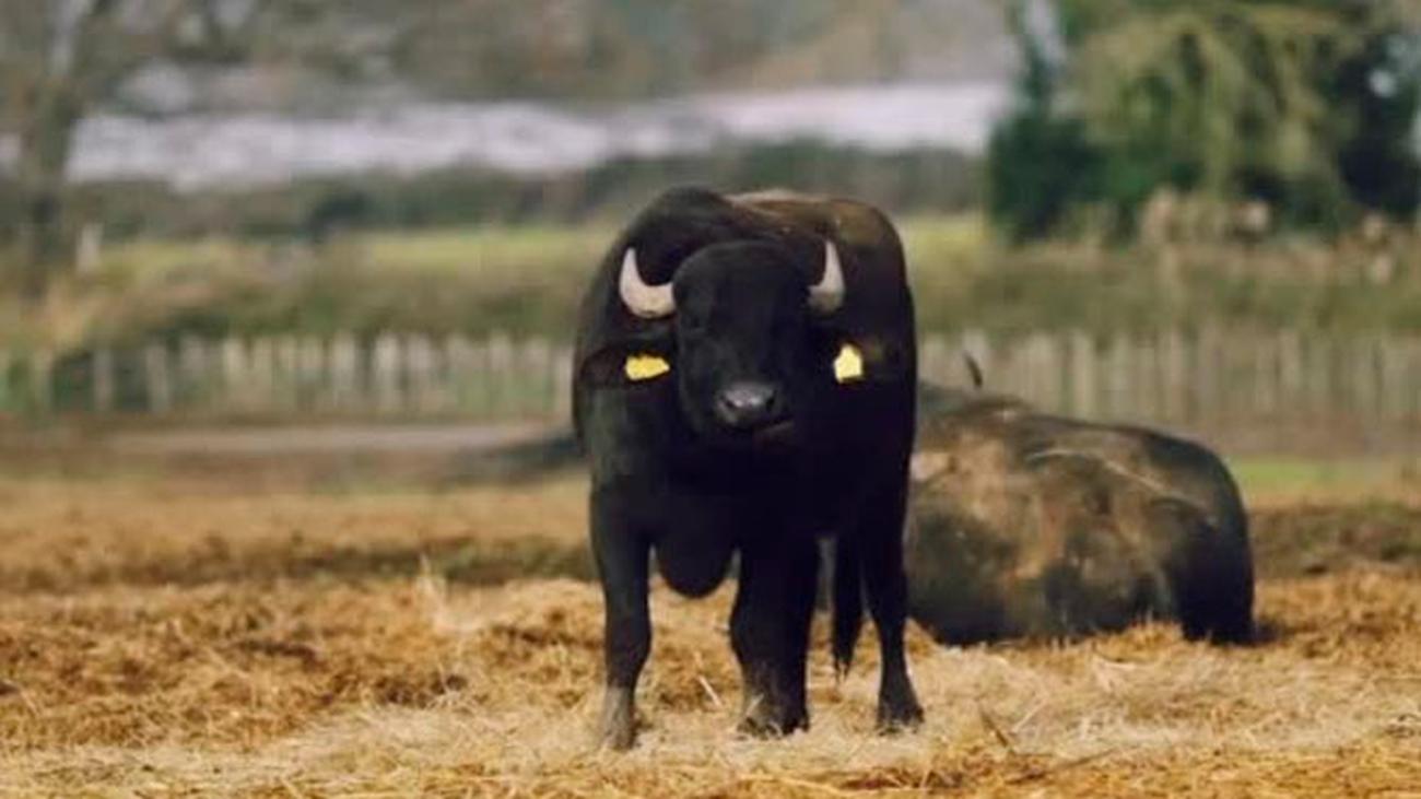 Unos búfalos muy castizos