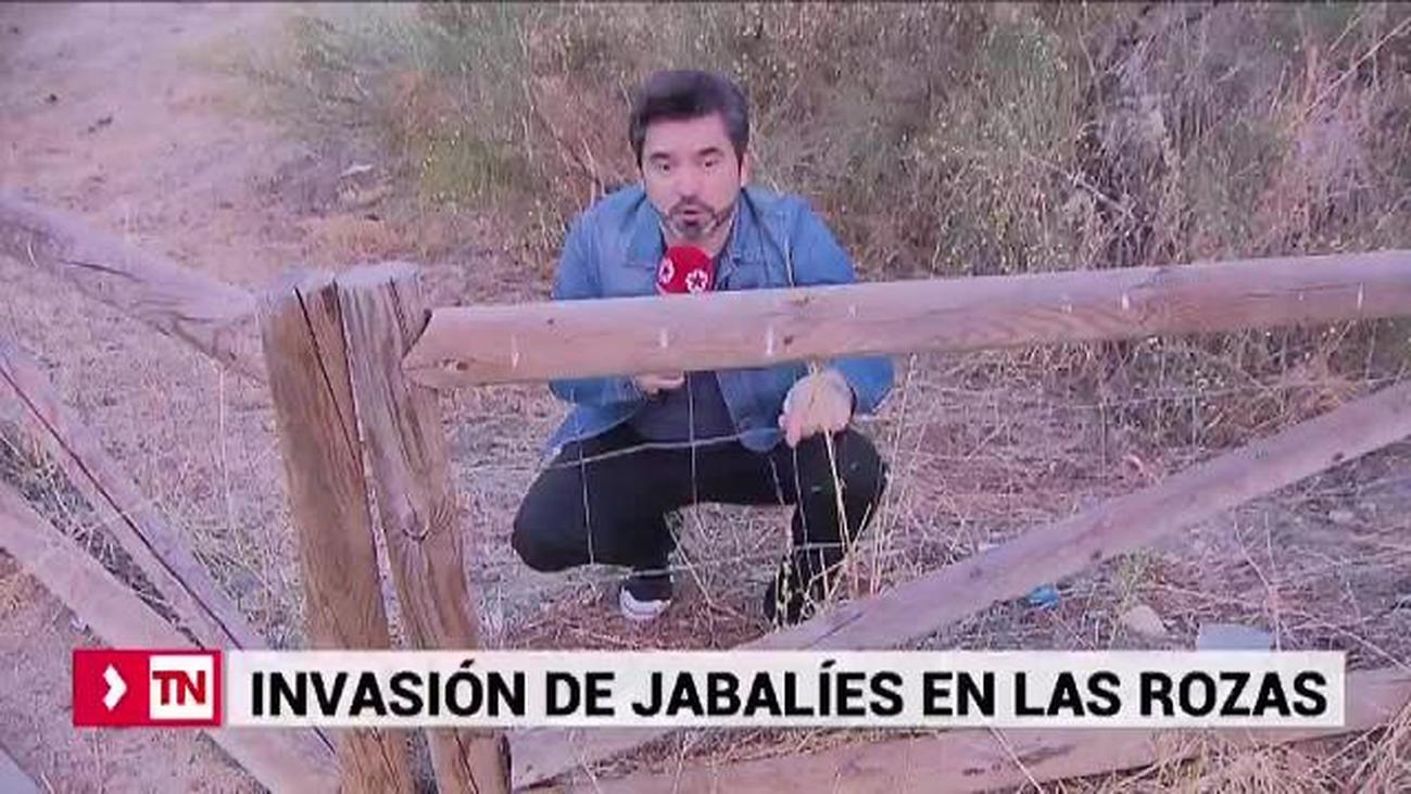 Quejas en Las Rozas por la invasión de jabalíes