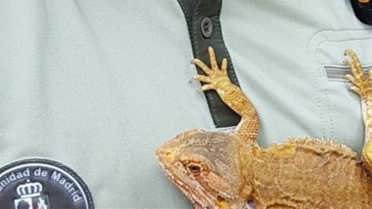 Recogen un dragón barbudo en el jardín de un chalet