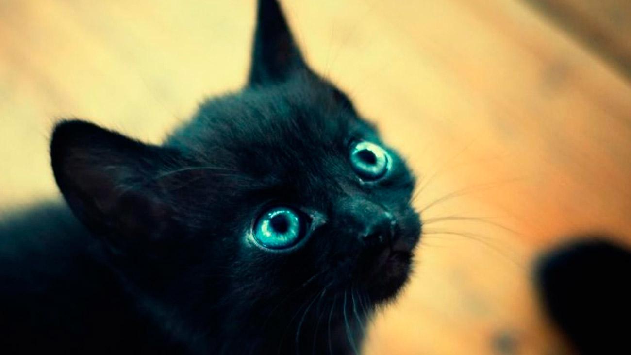 Durante Halloween se paralizan las adopciones de gatos negros