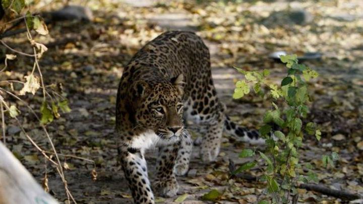 Un leopardo mata a un monje que meditaba en un bosque de la India
