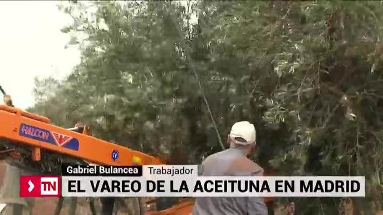 El vareo de la aceituna en Madrid