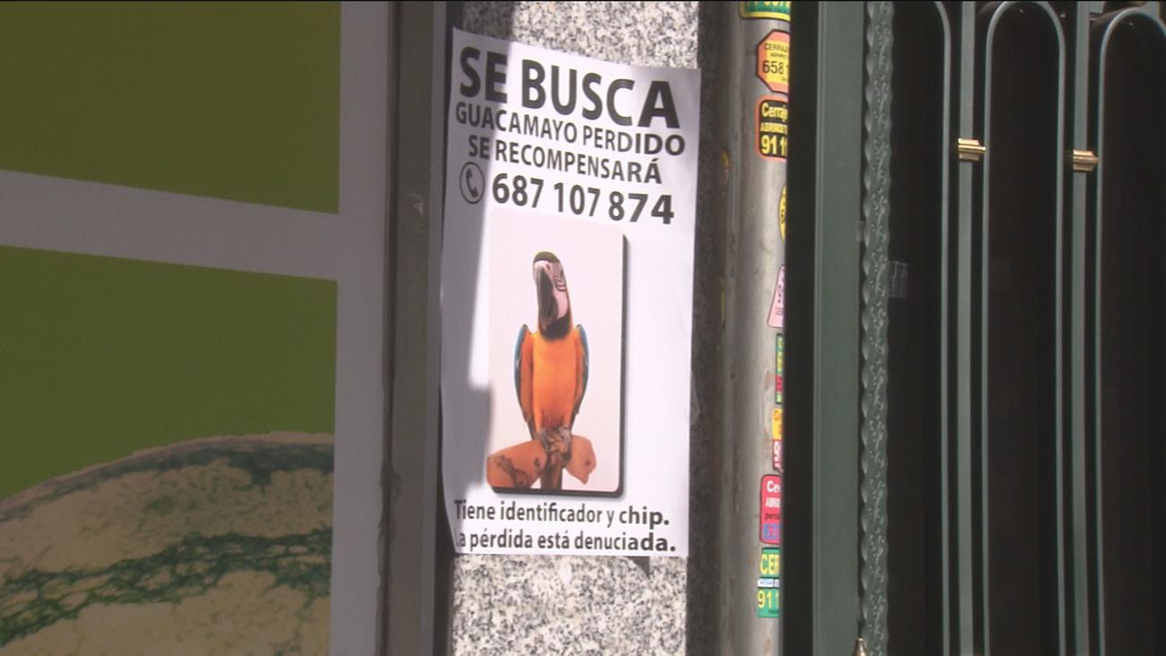 Buscan y ofrecen recompensa por Curro, un guacamayo perdido en Madrid