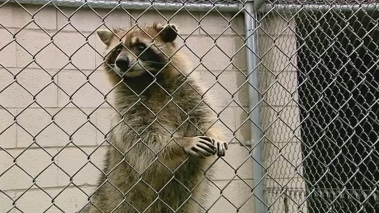 Plaga de mapaches en el Parque Regional del Sureste