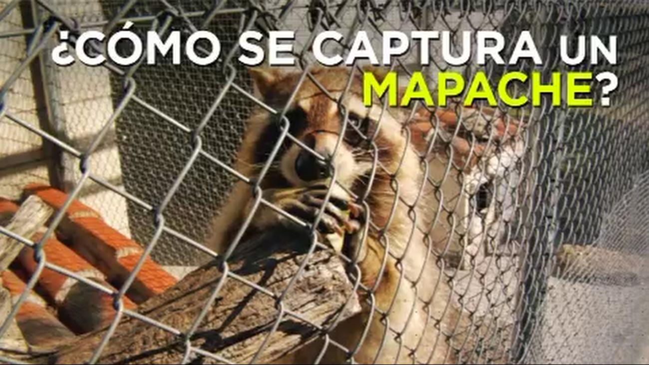 Así capturan a los mapaches en Madrid