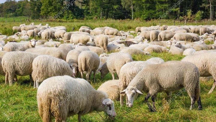 Pasamos la tarde con las ovejas de la Casa de Campo