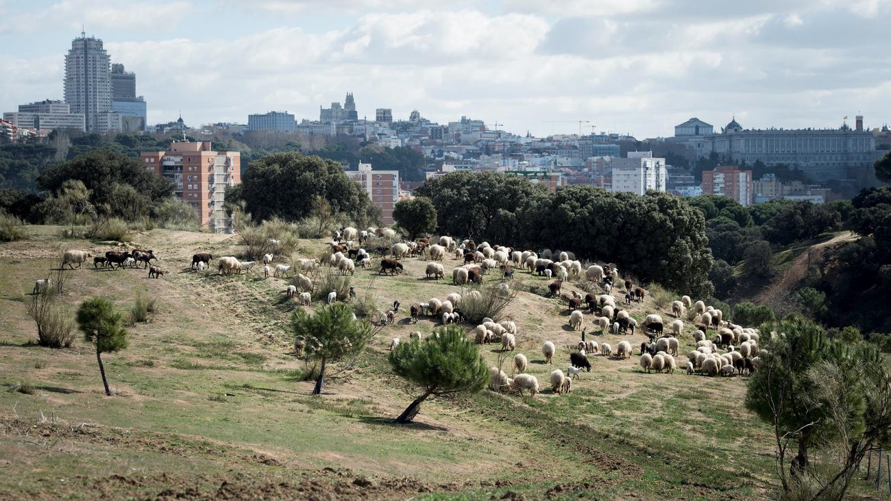 Carmena recupera el pastoreo preventivo en la Casa de Campo