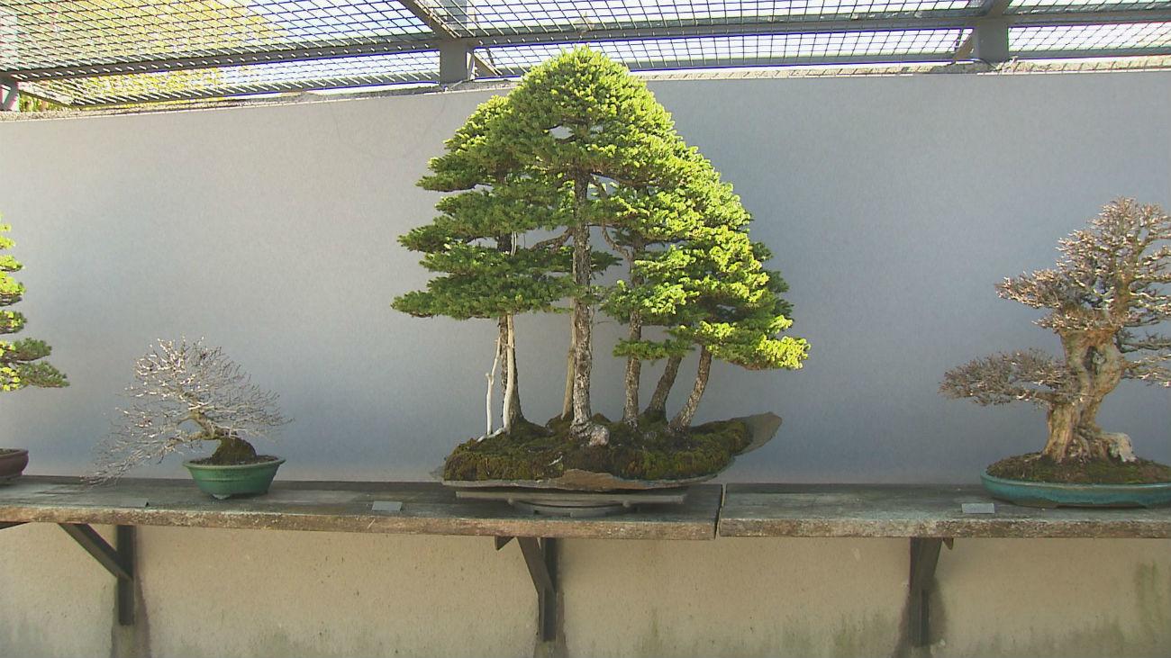 Alcobendas tiene la mejor colección de bonsáis de Europa