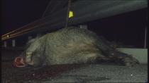 Más de 1.000 animales atropellados en los últimos años en Madrid
