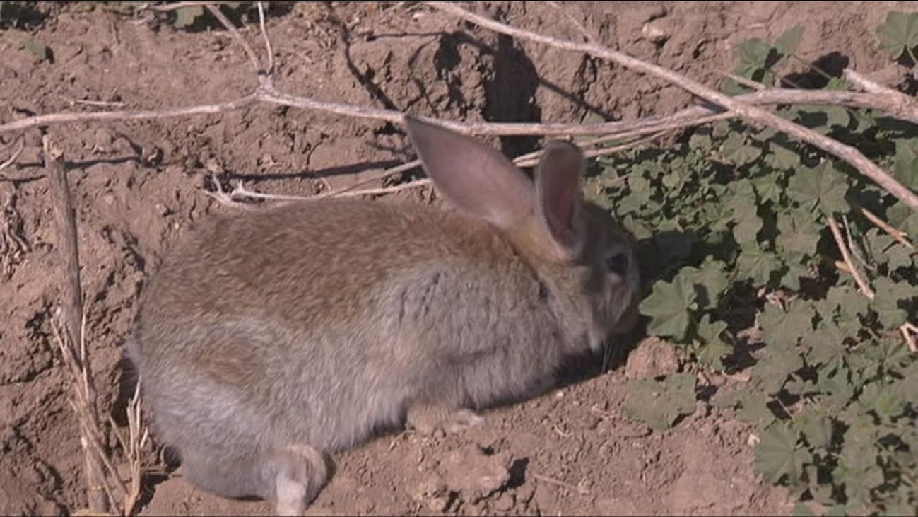 Una plaga de conejos arruina los cultivos de los agricultores del sur de Madrid
