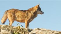 Atropellado un lobo en Madrid, donde quedan unos 40 ejemplares