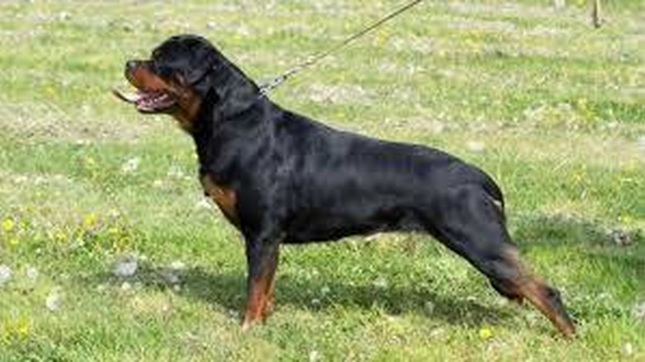 Un ejemplar de perro rottweiler, catalogado como raza peligrosa