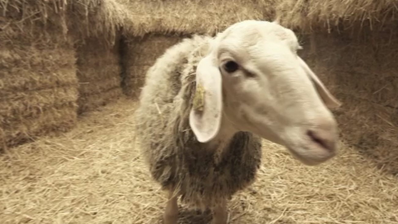 ¿Apadrinarías una oveja por 78 euros?