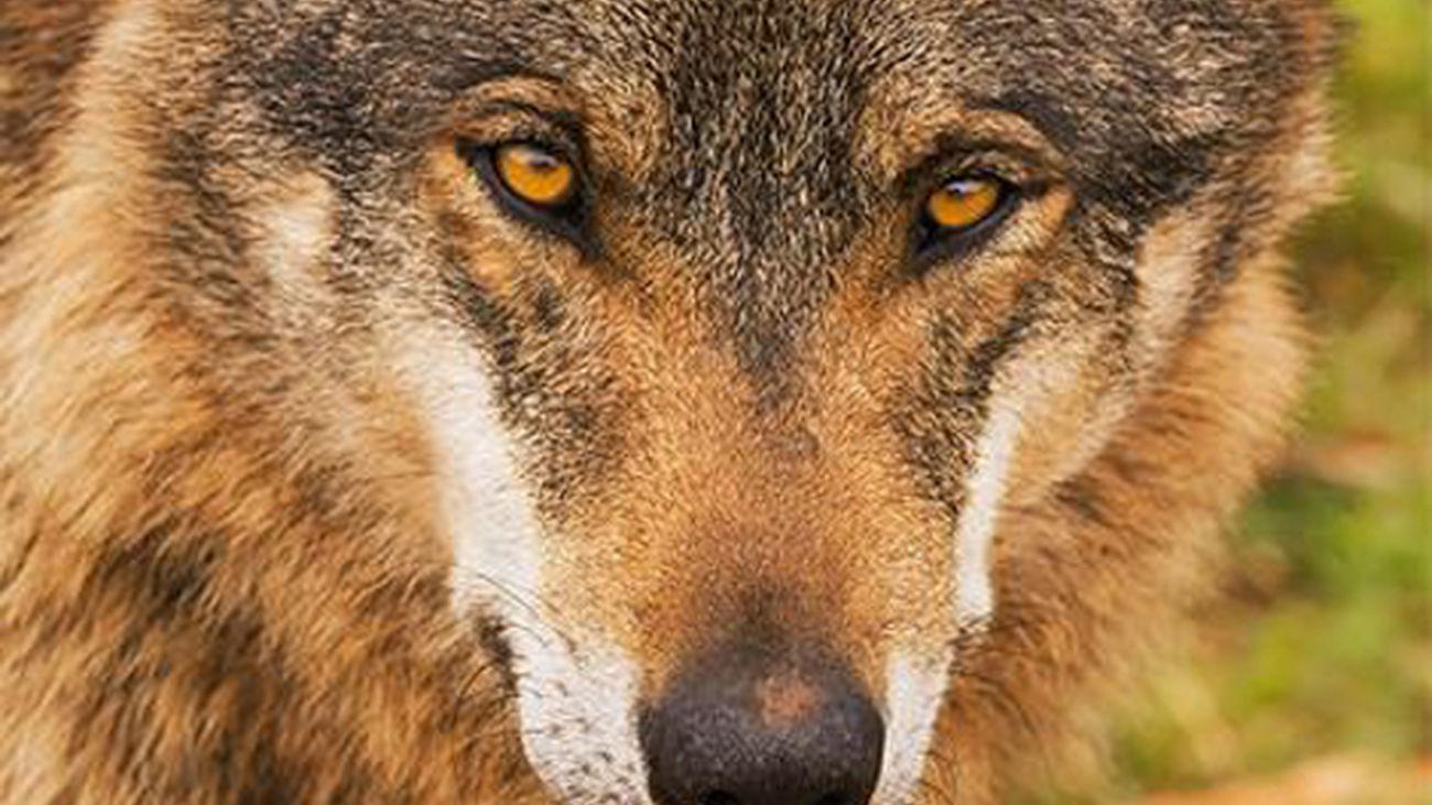Las carreteras de Madrid, el mayor enemigo de la expansión del lobo ibérico