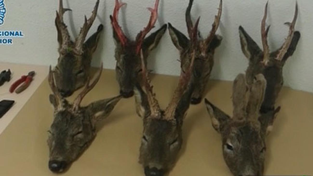 Dos detenidos en Torrejón de Ardoz por la caza furtiva de corzos