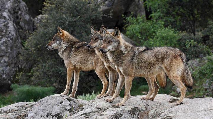 UGAMA denuncia dos nuevos ataques de lobo en Garganta de los Montes
