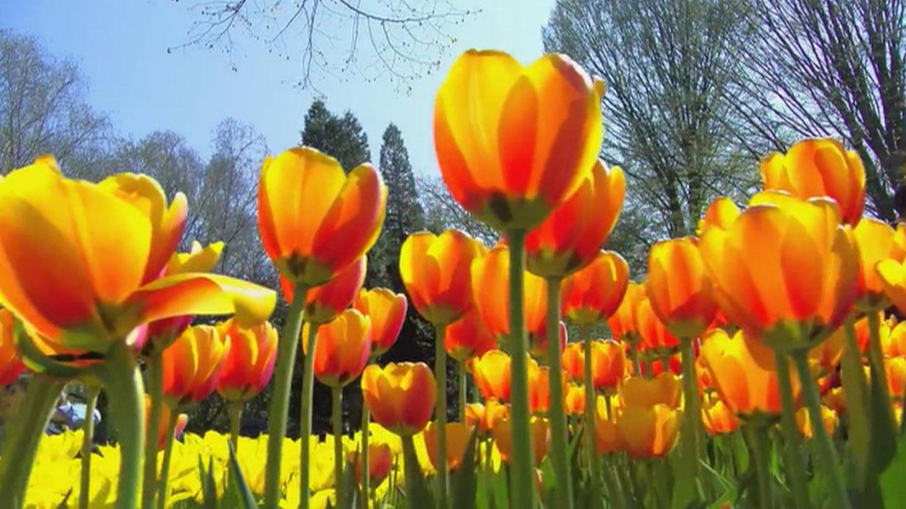 Los tulipanes de Holanda en primavera