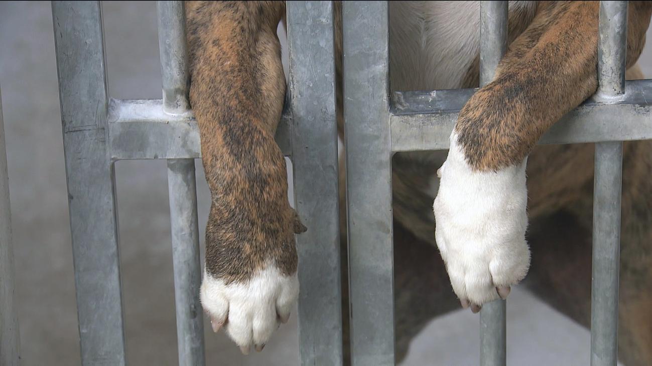 Las perreras de Madrid, saturadas de razas potencialmente peligrosas
