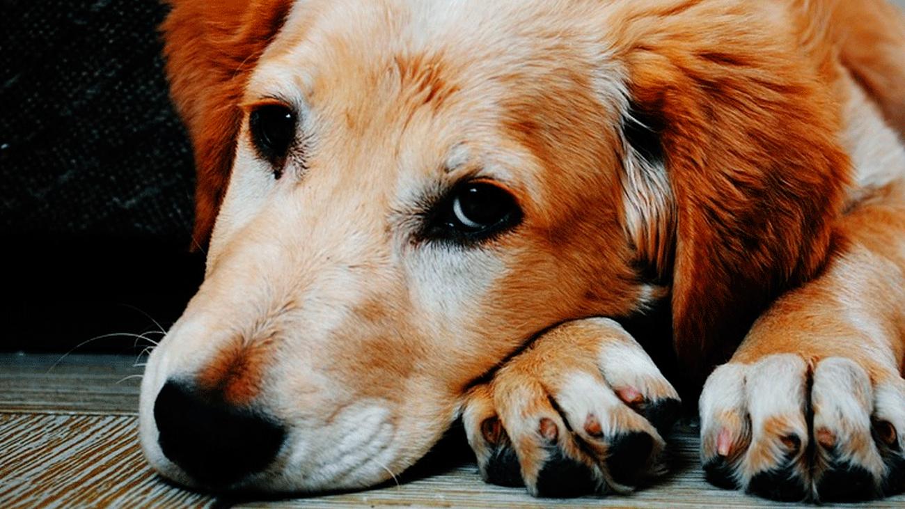 Cómo saber si tu perro está envenenado