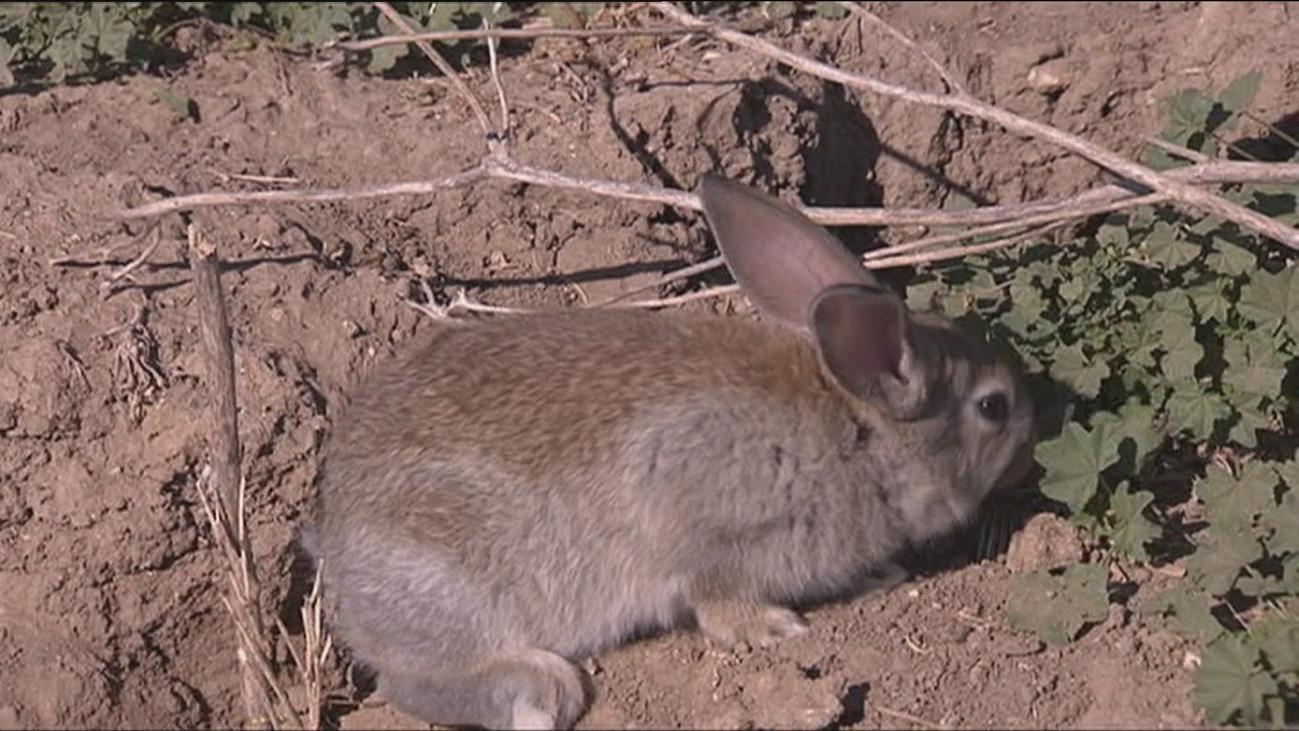 Los conejos del sur de Madrid, un problema para ADIF y los agricultores