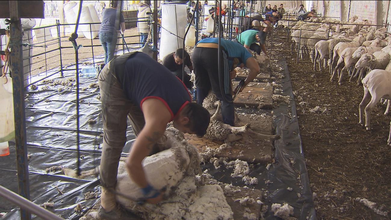 Esquilado de las ovejas en Villanueva del Pardillo para preparar la transhumancia