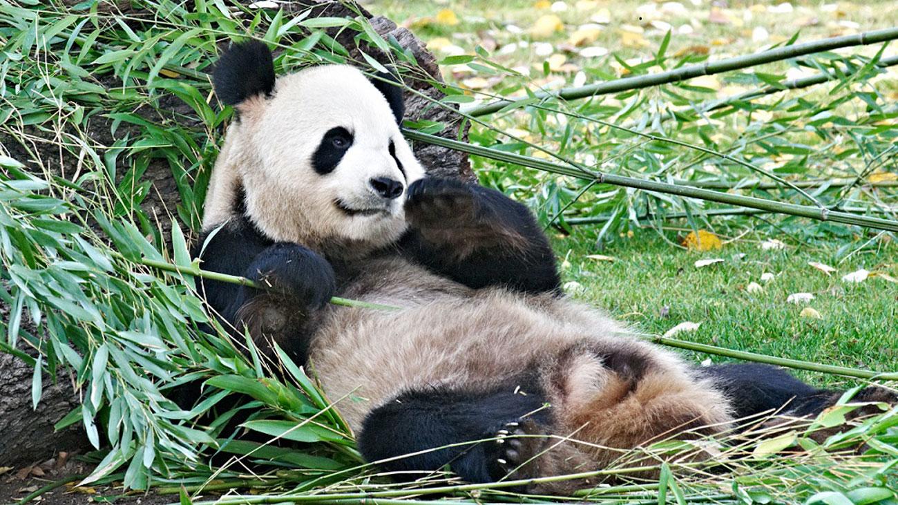 Inseminada artificialmente la osa panda gigante del Zoo Aquarium
