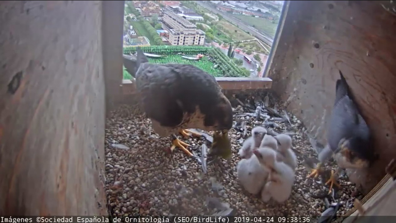 Hasta ocho parejas de halcones viven en pleno centro de Madrid