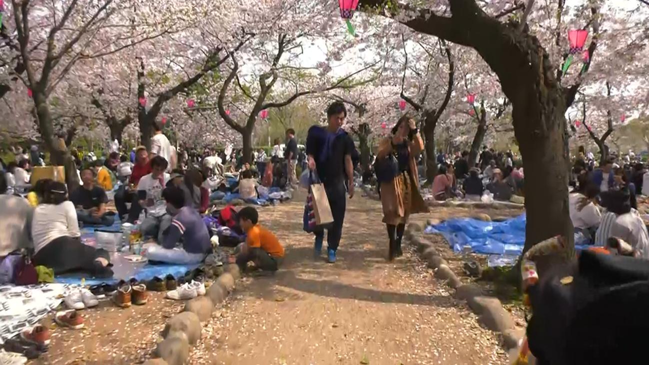 Vivimos la celebración del sakura en Nagoya