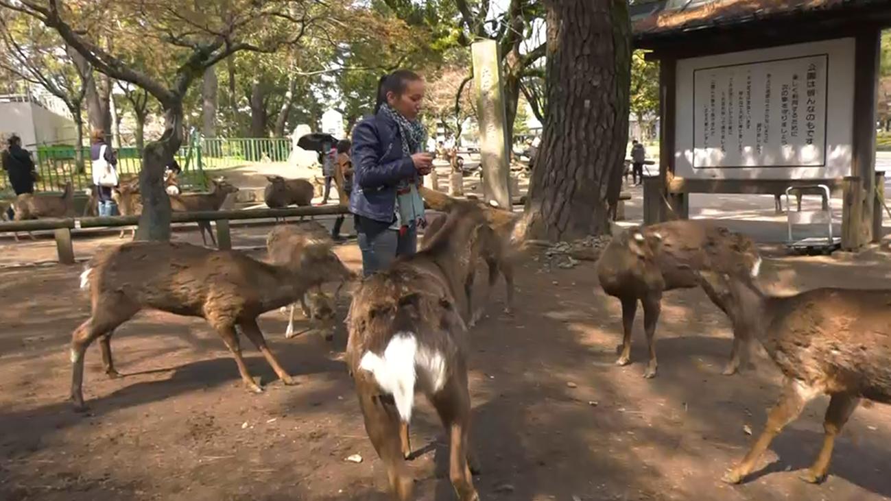 Nos encontramos con  1.200 ciervos en libertad en el parque de Nara