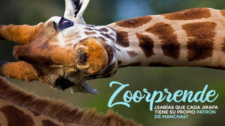 El Zoo Aquarium anima a los madrileños a visitar este puente su exposición de figuras de osos panda