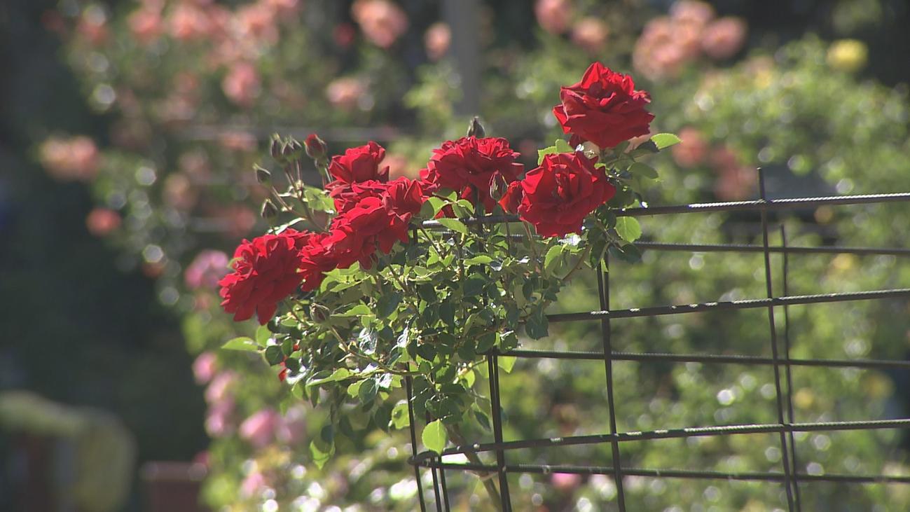 La Rosaleda de Madrid ya florece
