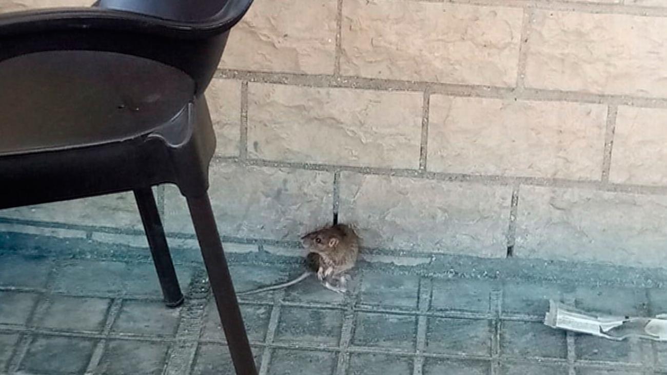 Vecinos y hosteleros de Móstoles protestan por la presencia de ratas en las calles