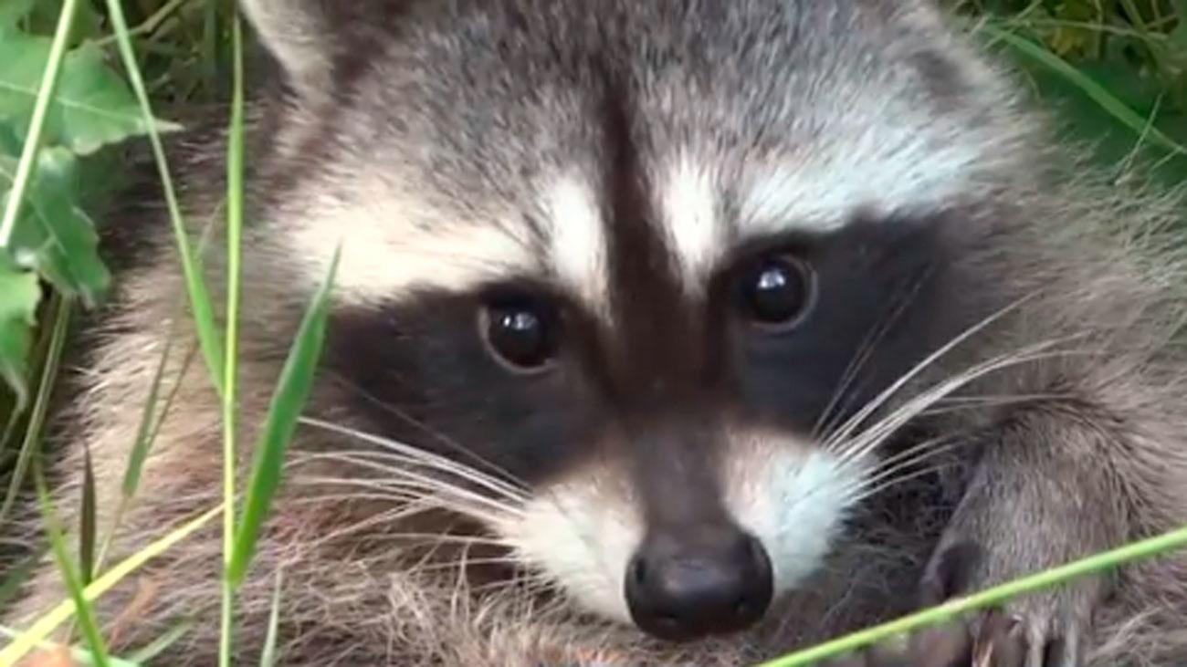 Los agricultores madrileños se quejan del daño que los mapaches causan en sus cultivos
