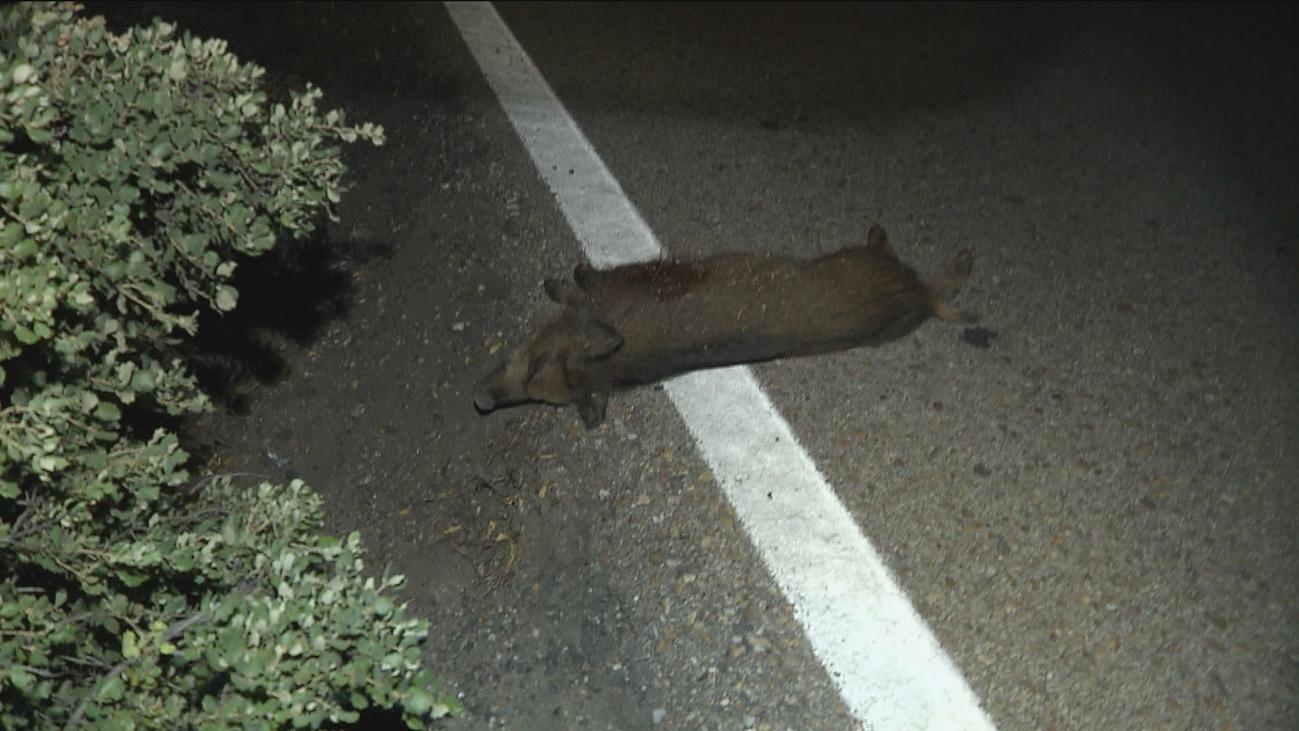 Peligro en las carreteras de Madrid por la presencia de zorros y jabalíes