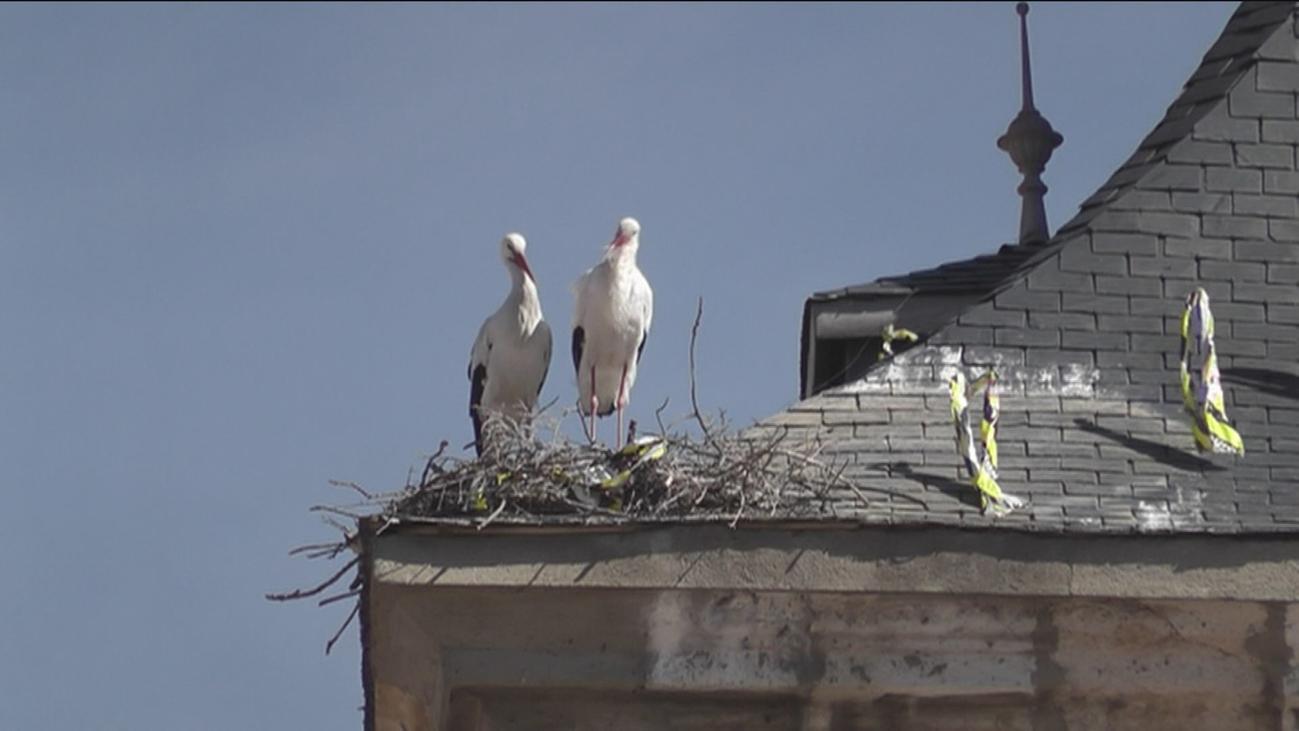 Retiran un nido de cigüeñas que llevaba 300 años en un Iglesia de Torrejón de Ardoz