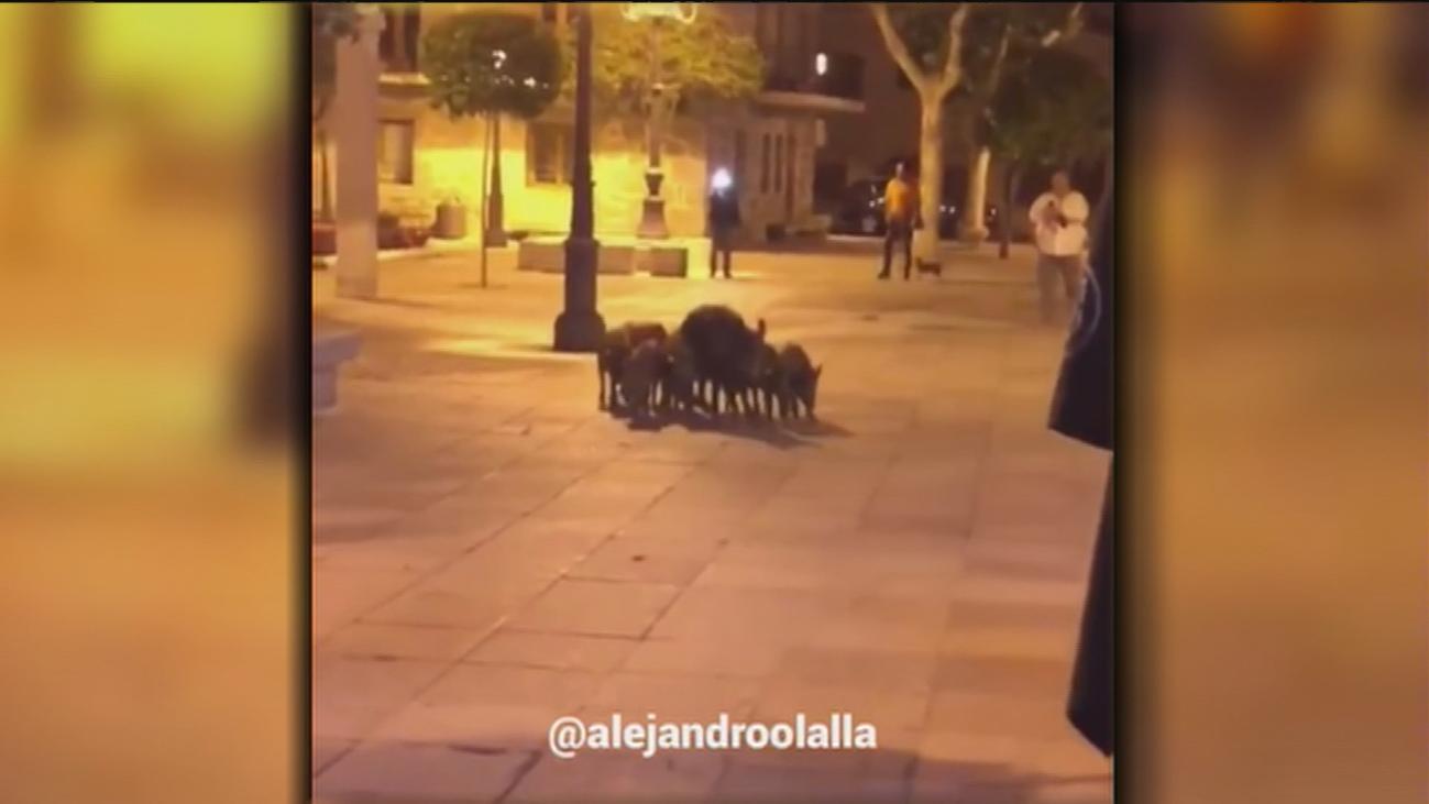 Una familia de jabalíes se pasea por el centro de Torrelodones