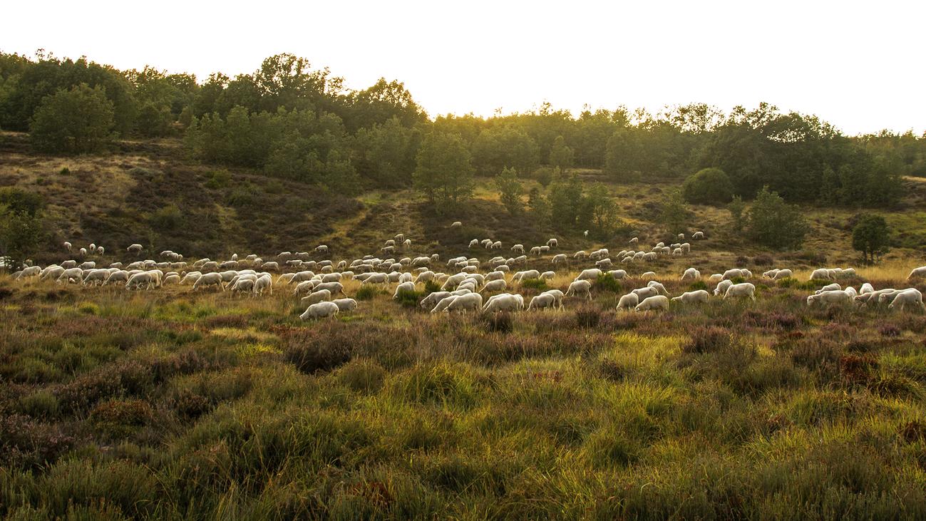 Las 'ovejas bombero' luchan para prevenir los incendios