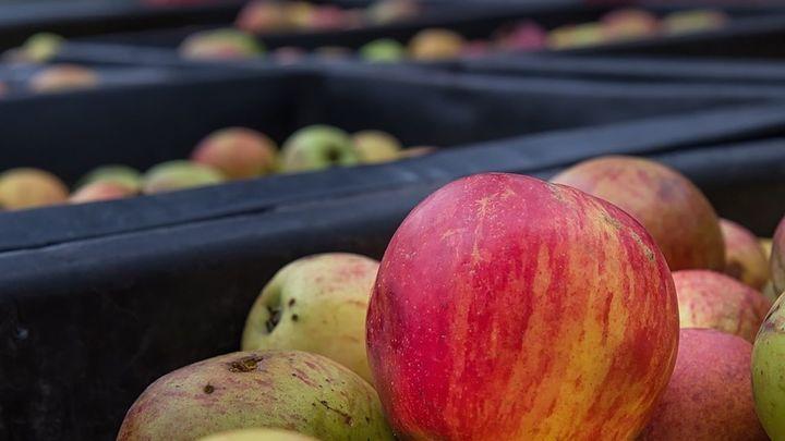 Oportunidad de empleo para recogida de fruta y champiñones en Bélgica