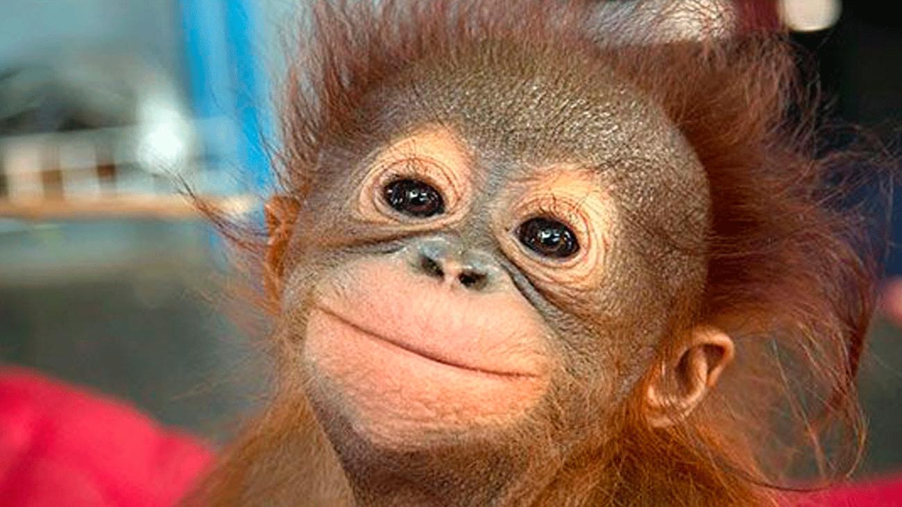 Unos monos con mucha 'chimpatía'
