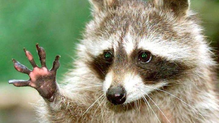 Una plaga de mapaches podría afectar a la fauna de la Comunidad
