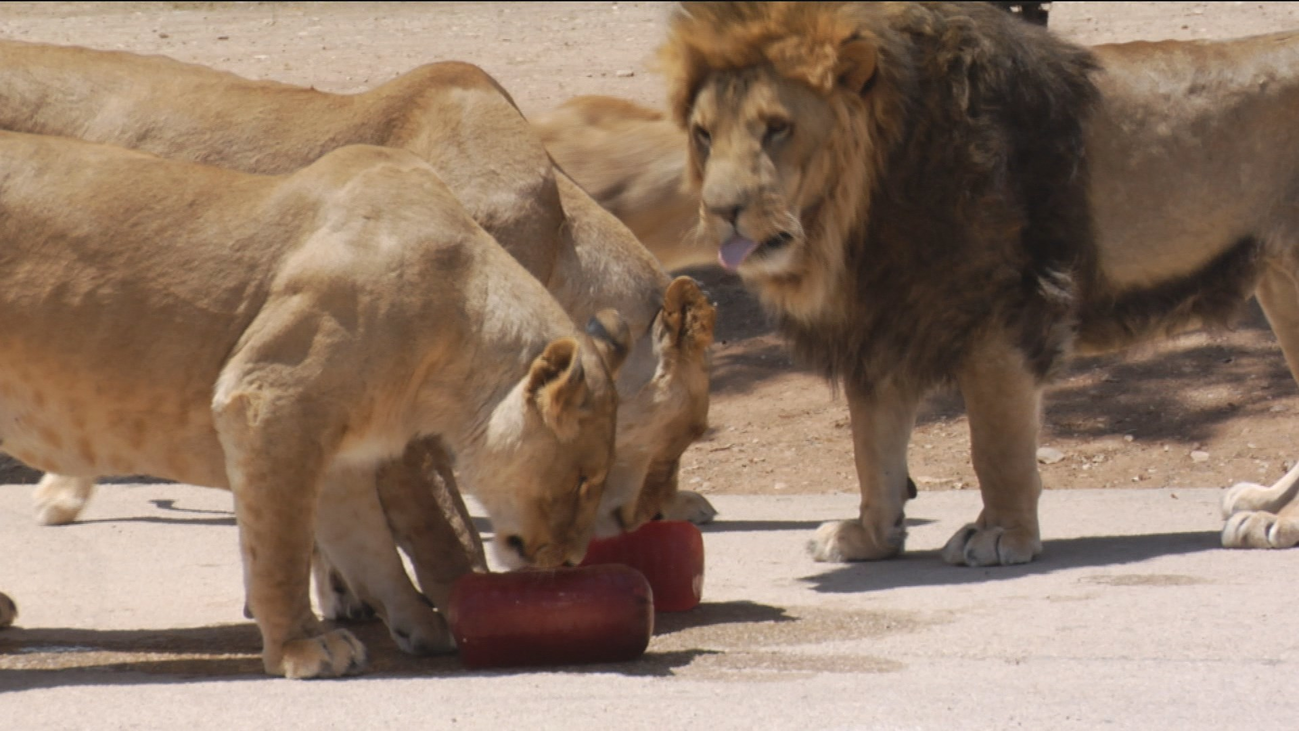 Polos de sangre, el refresco de los leones en el Safari de Madrid