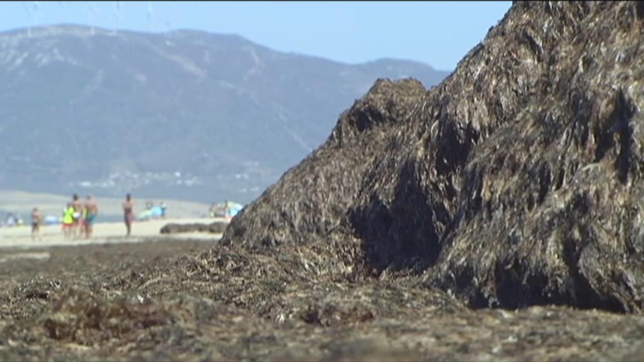 """""""Catástrofe ecológica"""" en la costa de Cádiz por la invasión de algas asiáticas"""