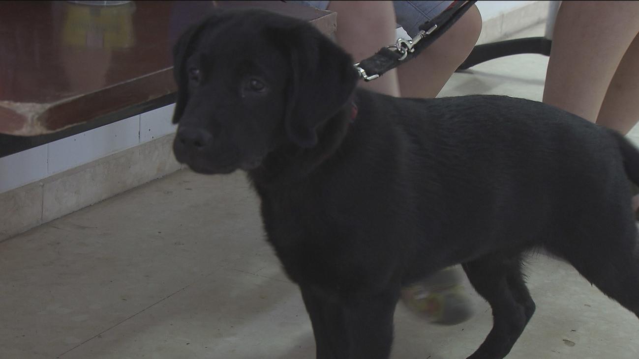 Numerosas familias madrileñas adoptan por un año a futuros perros guía