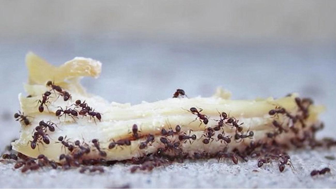¿Cómo podemos acabar con las hormigas?
