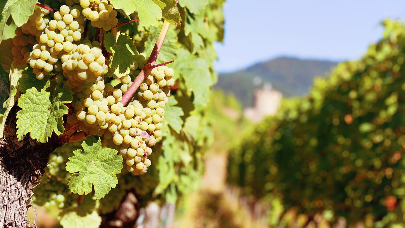 Comienza la vendimia de la uva más madrileña