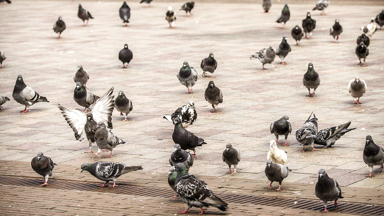 Vecinos de San Martín de la Vega denuncian una plaga de palomas
