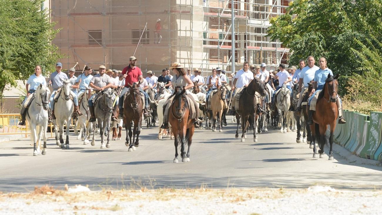 Tradicional traslado de bueyes que da comienzo a las fiestas de Colmenar Viejo