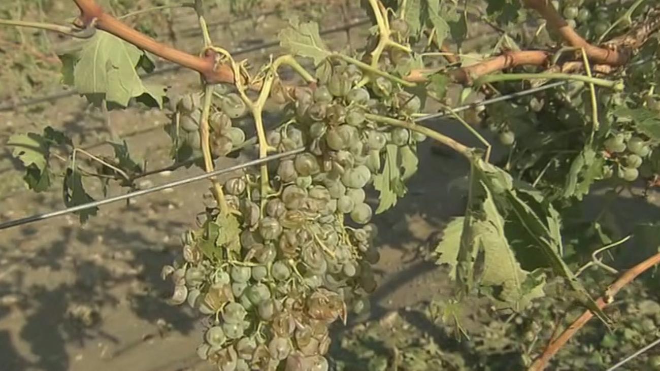 Los viñedos de Arganda,  arrasados por la tormenta