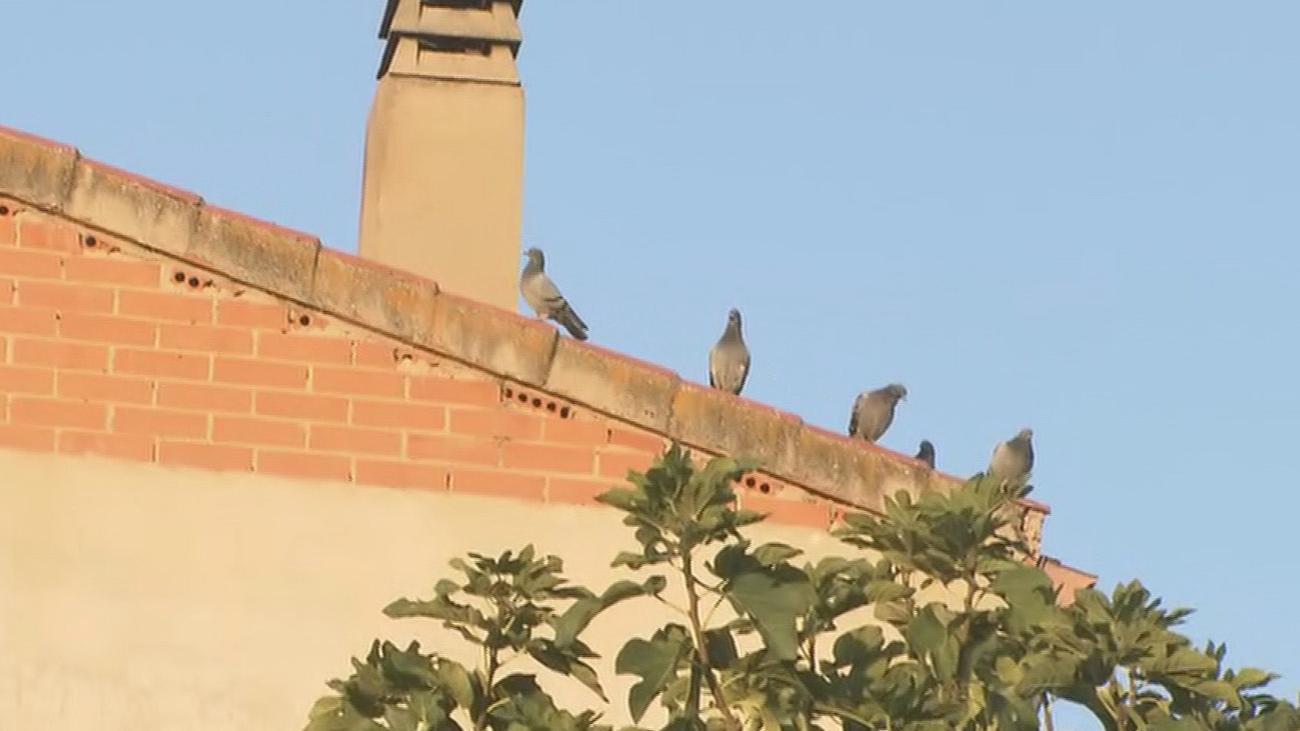 Los vecinos de Torrejón, desesperados por una invasión de palomas