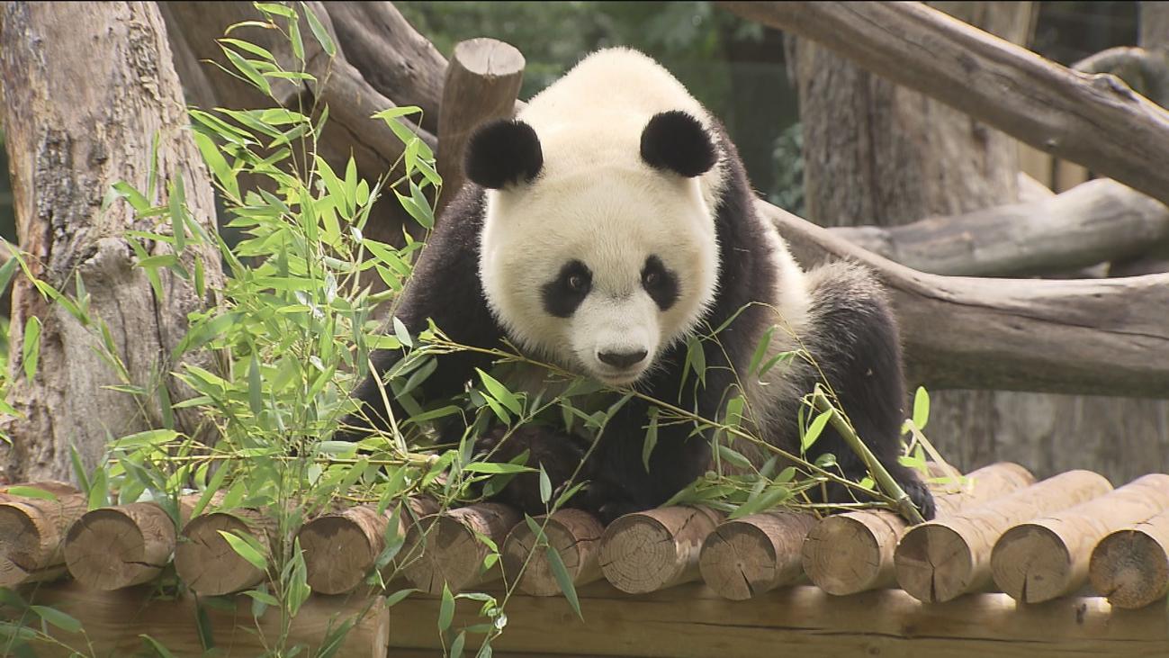 Zoo Aquarium de Madrid celebra el cumpleaños de Chulina